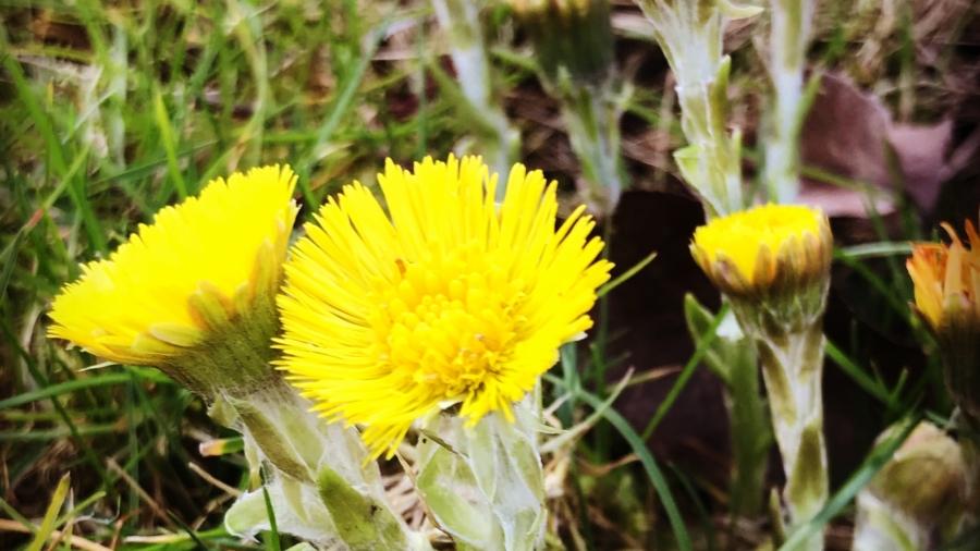 klein hoefblad voorjaar